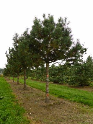 Pinus Nigra Subsp  Nigra 5