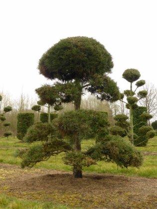 Pinus Nigra Subsp  Nigra 6