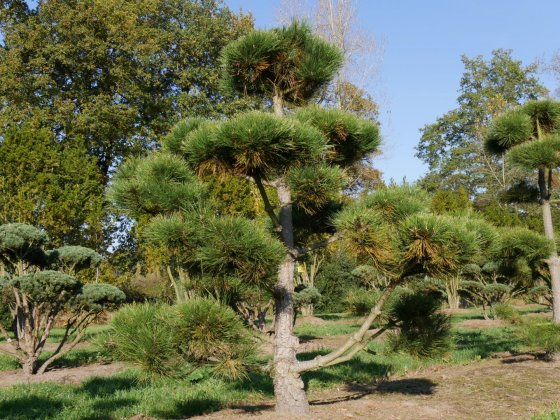Pinus Nigra Subsp  Nigra 7