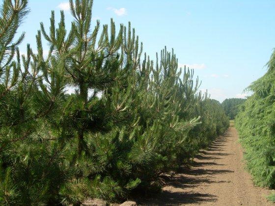 Pinus Nigra Subsp  Nigra 8