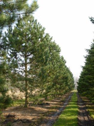 Pinus Nigra Subsp  Nigra 9