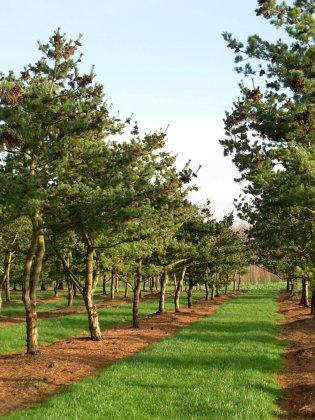 Pinus-parviflora-glauca