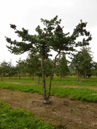 Pinus Parviflora Glauca 1-1