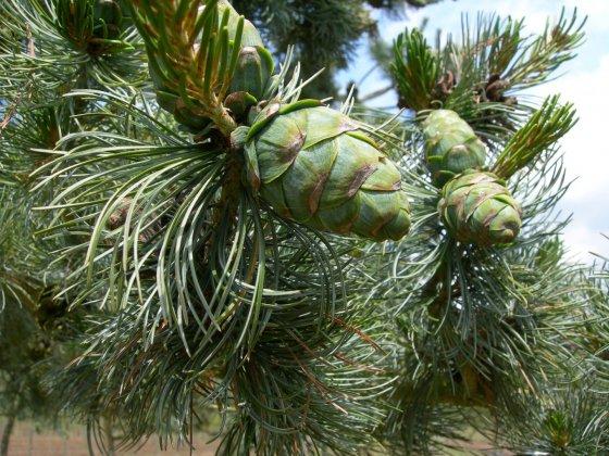 Pinus Parviflora Glauca 2