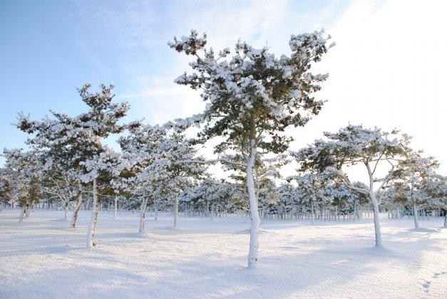 Pinus Parviflora Glauca 3