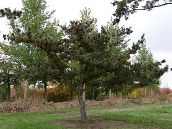 Pinus Parviflora Glauca 5