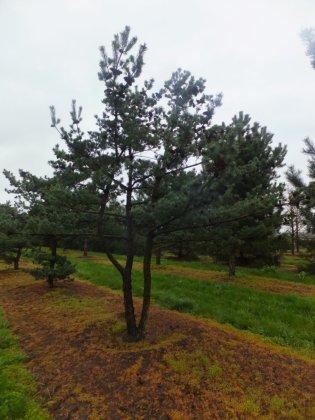 Pinus Parviflora Glauca 6