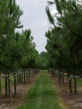 Pinus-pinaster