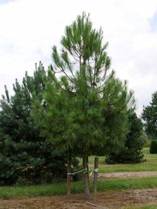 Pinus Pinaster 2