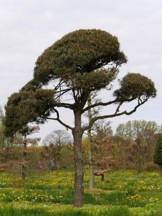 Pinus Sylvestris-1