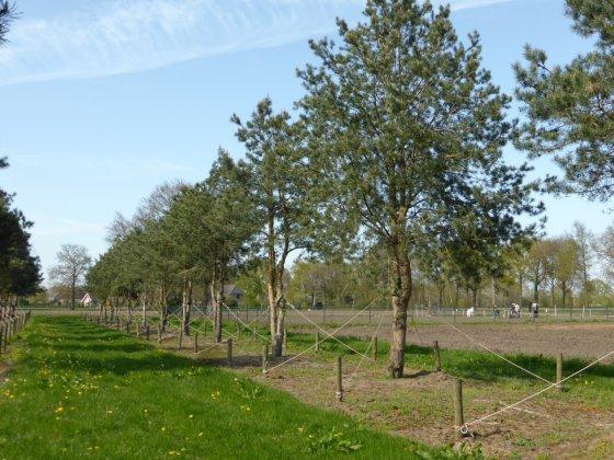 Pinus Sylvestris 1-1