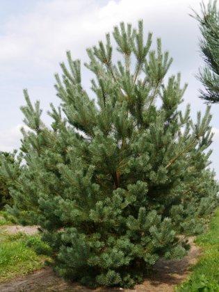 Pinus Sylvestris 4-1