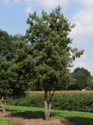 Pinus Sylvestris 5-1