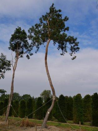 Pinus Sylvestris 6-1