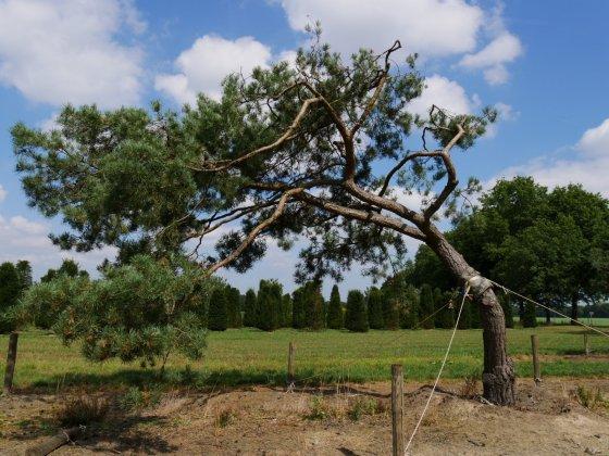 Pinus Sylvestris 7-1