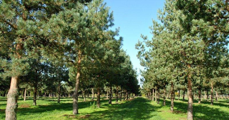 Seo-image Pinus Sylvestris 3-1-1