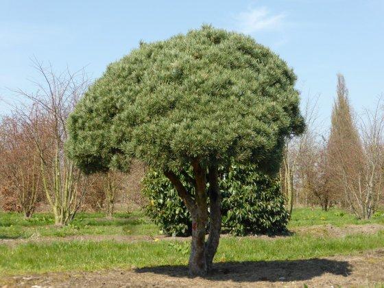 Pinus Sylvestris Watereri 1