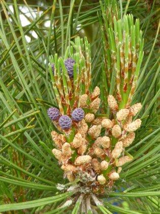Pinus Sylvestris Watereri 2