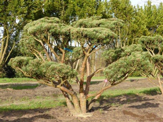 Pinus Sylvestris Watereri 3