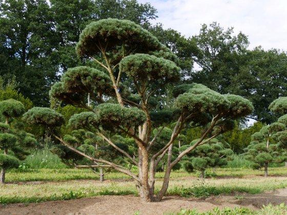 Pinus Sylvestris Watereri 4