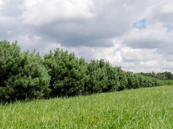 Pinus Sylvestris Watereri 5