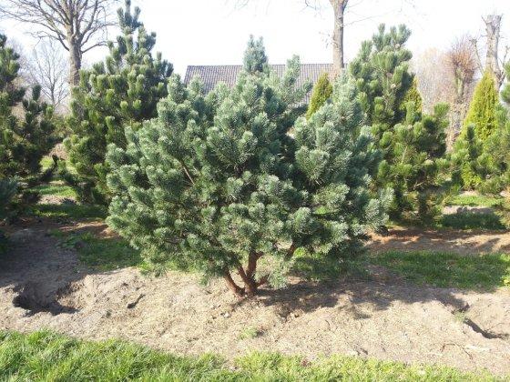 Pinus Sylvestris Watereri 7