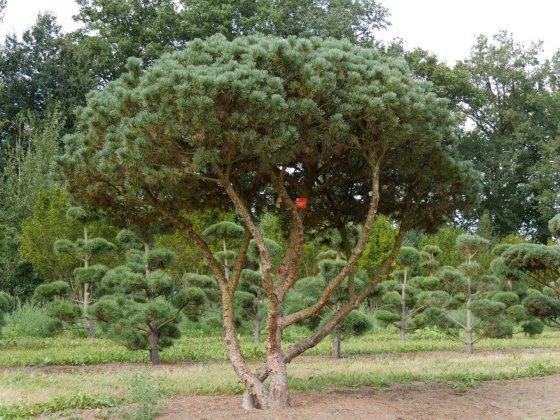 Pinus Sylvestris Watereri 8