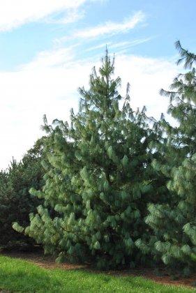 Pinus-wallichiana