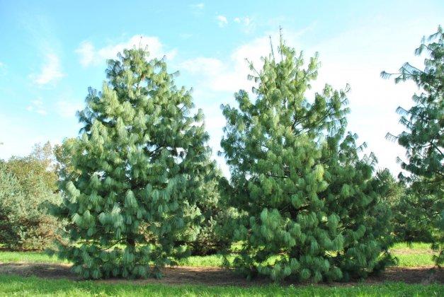 Pinus Wallichiana 1-1