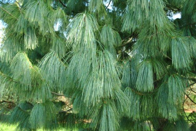 Pinus Wallichiana 2-1