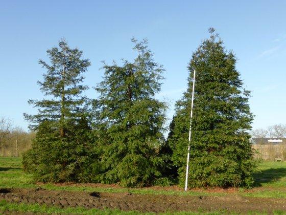 Sequoia Sempervirens 1-1