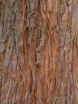 Sequoia Sempervirens 2-1