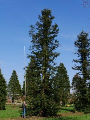 Sequoia Sempervirens 4