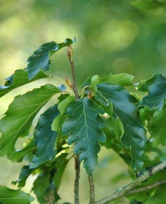 Fagus-sylvatica-quercifolia