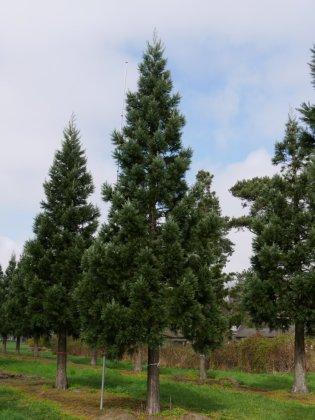 Sequoiadendron Giganteum Glaucum 2