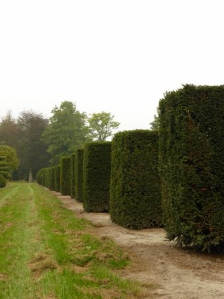Taxus Baccata 1-1