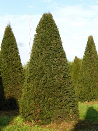 Taxus Baccata 10