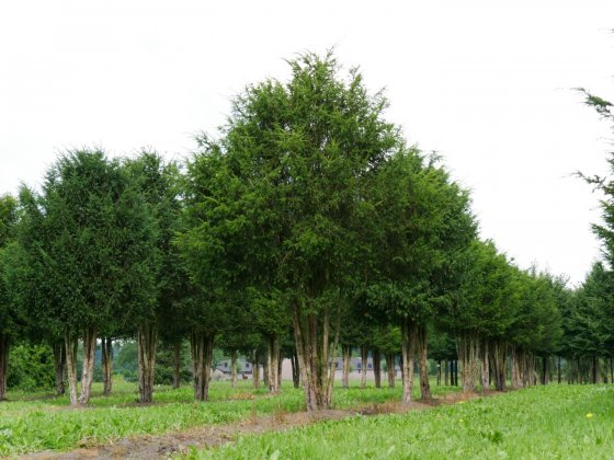Taxus Baccata 14