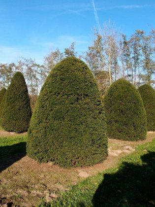 Taxus Baccata 17