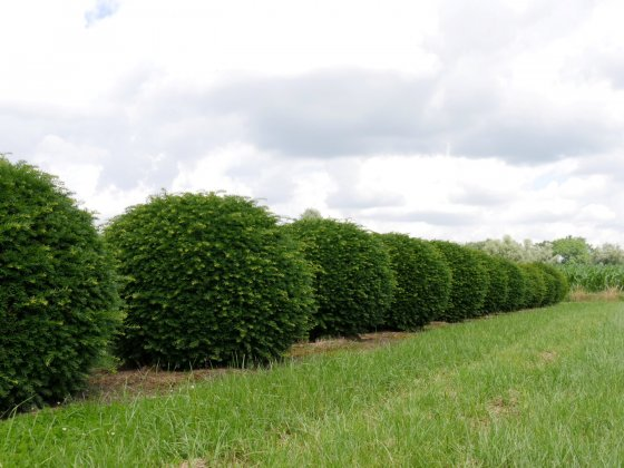 Taxus Baccata 19