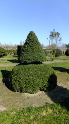 Taxus Baccata 21