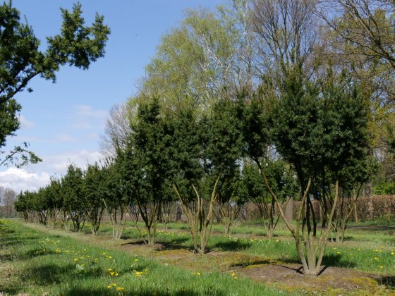 Taxus Baccata 22