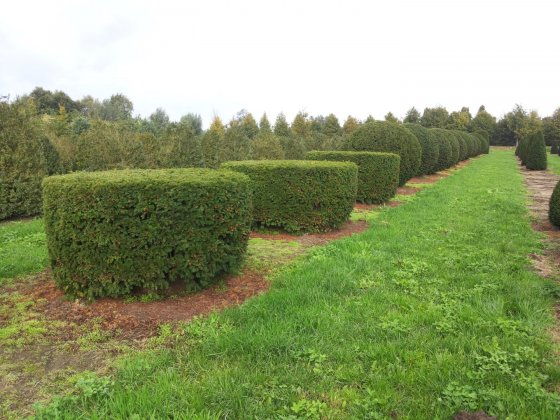 Taxus Baccata 23