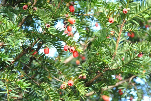 Taxus Baccata 25