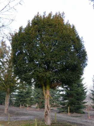 Taxus Baccata 7