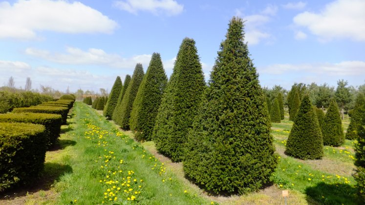 Taxus Baccata 9
