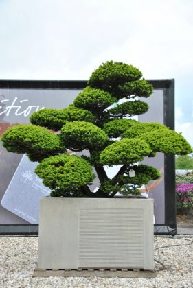 Taxus Cuspicata