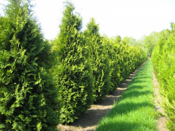 Thuja Occidentalis Brabant 2