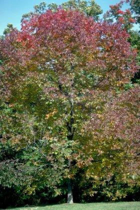 Fraxinus-americana-autumn-purple