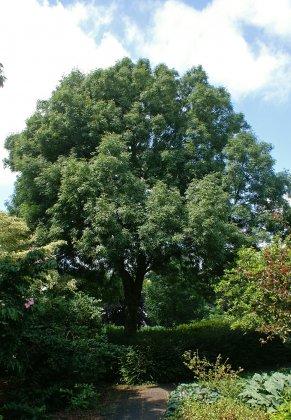 Fraxinus-angustifolia-elegantissima